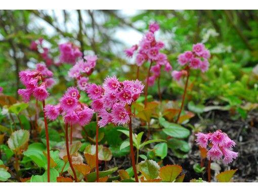 【小谷・長野】花の栂池自然園フラワーウォーキングの紹介画像