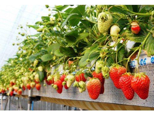 【長野・伊那谷】南信州 いちご狩り!5種のいちごを食べ放題!