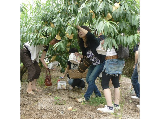 【Okayama・Akaiwa】 White Peach Picking Experience 「1pc+Sampling 1pc」(60min)の紹介画像