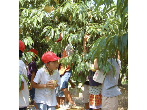 【Okayama・Akaiwa】 Peach Picking Experience 「Sampling 2pcs」(40min)の紹介画像