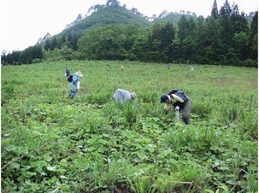 "[Hijiori Onsen, Yamagata Prefecture] ""Hijiori Sansai School"" ★ Experience picking edible wild plants in a mountain rich in nature * Learn ""Sansai studies"" at Hijiori Onsen ♪ (with edible wild plants lunch))の紹介画像"