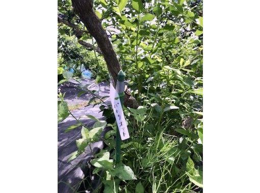 【秋田県・仙北市】小さなお子様も安心・無農薬こだわり栽培のブルーベリー園の紹介画像