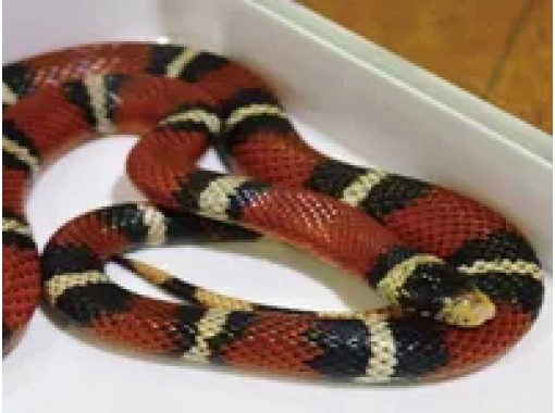 [Harajuku, Tokyo] A unique experience! Get in touch with many snakes at the popular Snake Cafe!の紹介画像