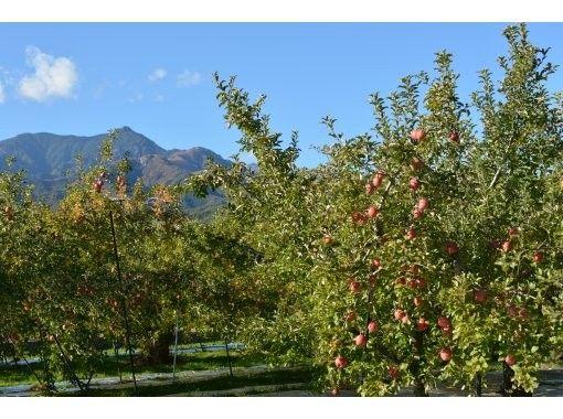 【長野・伊那・駒ヶ根・飯田・昼神】りんご狩り伊那谷の山々を眺めながら信州まつかわのりんごを召し上がれ♪
