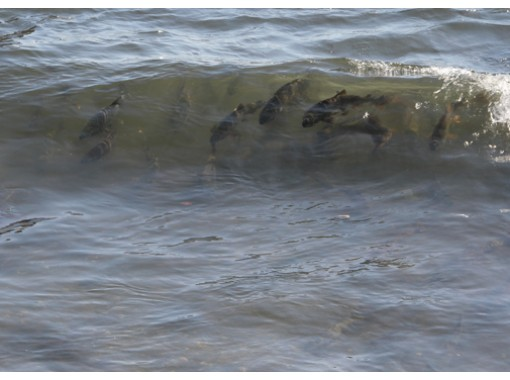 【北海道・登別市】登別温泉「鮭の遡上見学ツアー」(季節限定)