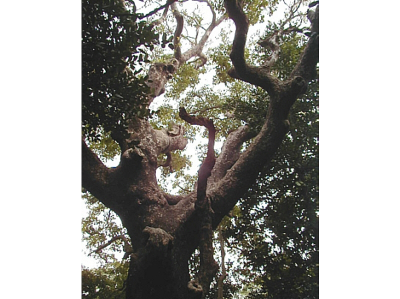 [Okinawa Kunigami-gun] spirit dwells! ? Old hundred years or more of the giant tree, old tree trekking tour of the introduction image