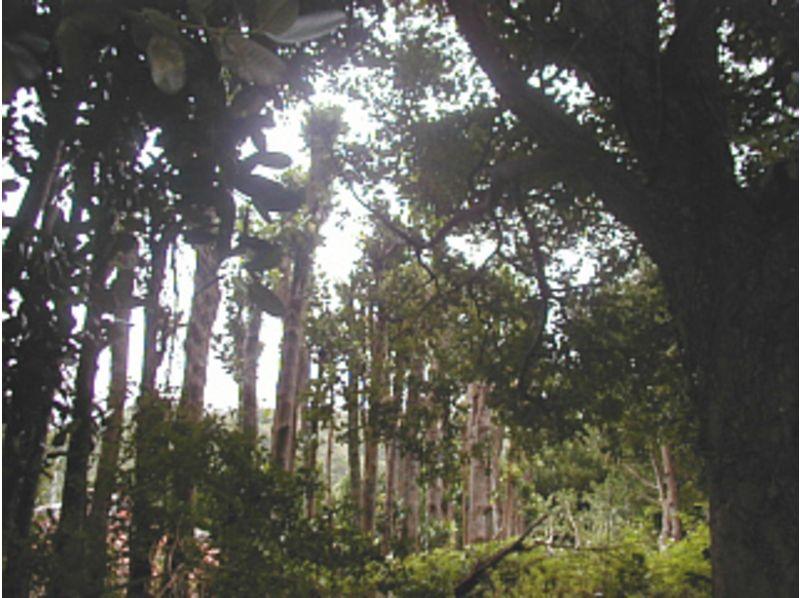 【沖縄・国頭郡】精霊が宿る!?樹齢百年以上の巨木、老木トレッキングツアーの紹介画像