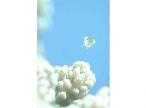 [Kagoshima-Amami Oshima] fan diving (2 Botodaibu)の紹介画像