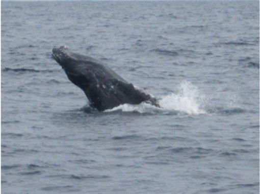 【沖縄・慶良間諸島】クジラを肉眼で見る貴重な体験「ホエールウォッチング」クジラの写真プレゼント!