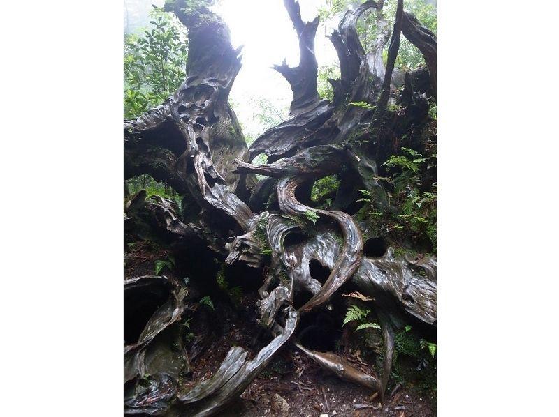 【鹿児島・屋久島】ヤクスギランドと天文の森【しっかり8時間】の紹介画像