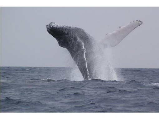 [Okinawa/Headquarters] Winter only! 98% encounter rate! Whale watching(half-day tour) from Motobu Portの紹介画像