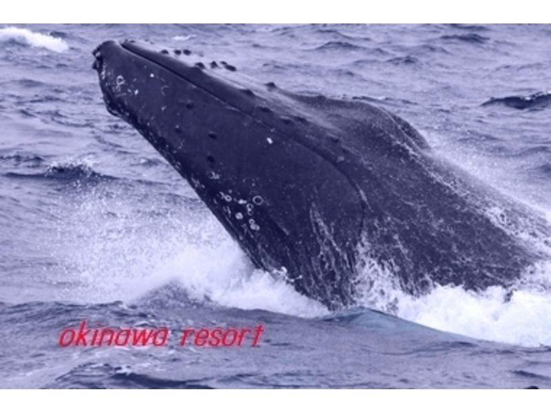 【沖縄・座間味】ホエールウォッチング(2時間コース)の紹介画像