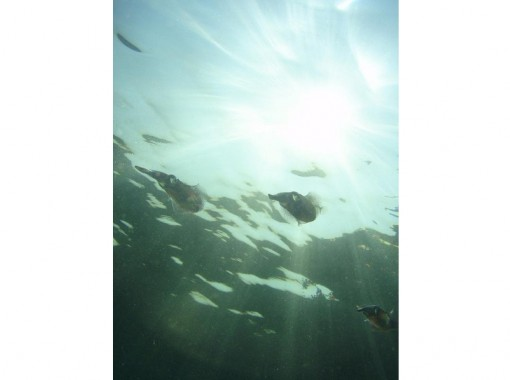 [Chiba Prefecture Katsuura snorkeling] leisurely snorkeling in Chiba of the sea!の紹介画像
