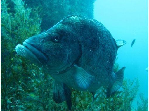[ 岛根 - 出云 ]轻松享受许多海鱼风扇深潜 [船深潜 ]の紹介画像