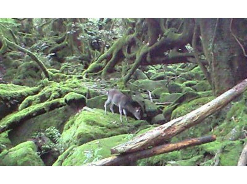 【屋久島】白谷雲水峡 苔の森ツアー【トレッキング】の紹介画像