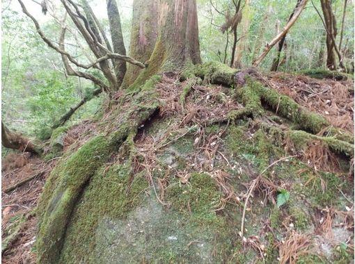【鹿児島県・熊毛郡】コースを選択! ヤクスギランド~紀元杉トレッキングコース