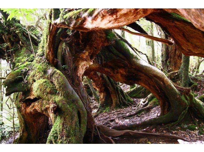 【屋久島】西部林道 照葉樹の森ツアー【トレッキング】の紹介画像