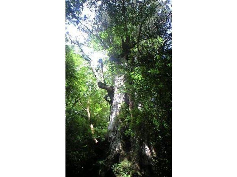 【屋久島】縄文杉 縄文杉に出逢うツアー【トレッキング】の紹介画像