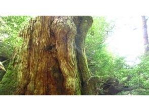 森の旅人(Yakushima MORINO TABIBITO)の画像