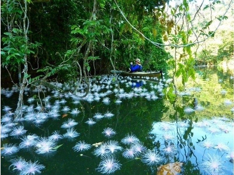 【沖縄・西表島】3つのコースから選べる サガリバナと静寂の滝【カヌー】の紹介画像