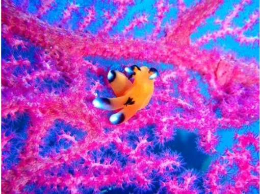 [Shizuoka Izu / Numazu] enjoy the creature of a wide variety of sea! Fan dive guide pack (two dives)の紹介画像
