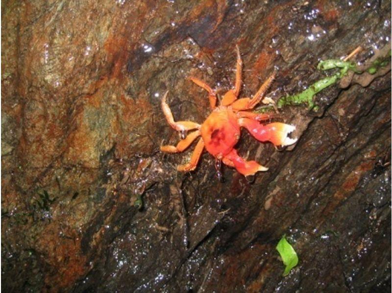 【鹿児島・奄美大島】亜熱帯の森を探検!ナイトツアーの紹介画像
