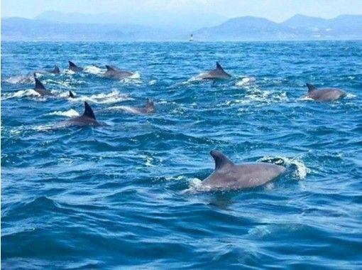 【熊本・天草】野生イルカに会いに行こう!イルカウォッチング【遭遇率98%】