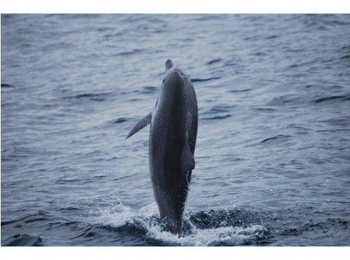 [熊本縣天草]遇見野生海豚-在船上海豚觀賞海豚的療愈之旅!の紹介画像