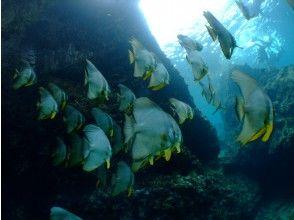 プランの魅力 Teira batfish の画像