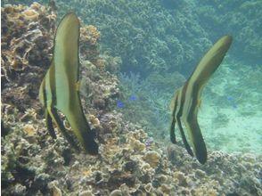 プランの魅力 ツバメウオの幼魚たち の画像