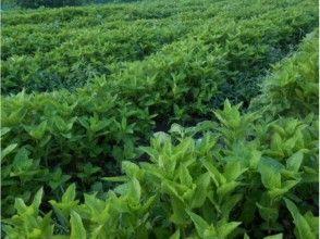 プランの魅力 藍染めの原料となる蓼藍草 の画像