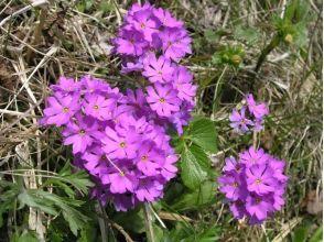 【北海道・礼文島】歌にも歌われた可憐な花! ウスユキソウ群生地コースガイドの魅力の説明画像