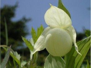 プランの魅力 開花時期にはレブンアツモリソウに出会えます の画像