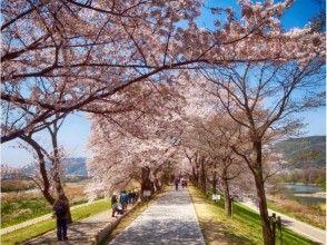 プランの魅力 在樱花盛开的季节,关西排名第一的樱花观赏胜地非常拥挤。 の画像