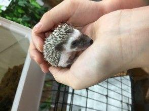 プランの魅力 Hedgehog contact experience の画像