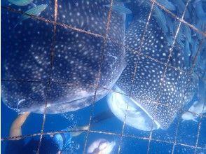 プランの魅力 如果您可以参加,那么您一定会遇到鲸鲨 の画像