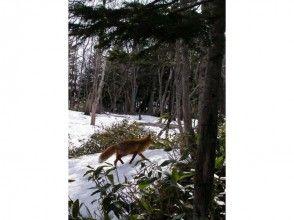 プランの魅力 Inhabited by wild red fox の画像