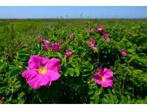 プランの魅力 はまなすの丘公園で海浜植物を愛でるのも良いです。 の画像
