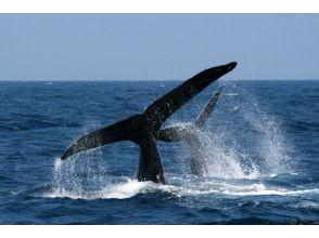 プランの魅力 ザトウクジラの親子 の画像
