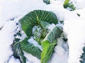 プランの魅力 「ほっこり農園」 キャベツ収穫体験 の画像