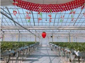 プランの魅力 All-you-can-eat for 1 hour! Strawberry picking in Ishinomaki の画像
