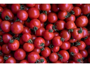 プランの魅力 探求を重ね作りだされるトマト の画像