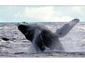 【沖縄・座間味】ホエールウォッチング(2時間コース)の魅力の説明画像