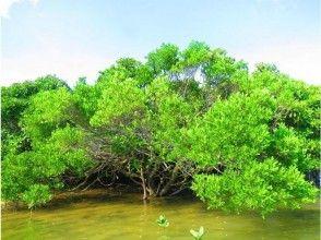 プランの魅力 You can see 4 kinds of mangrove trees の画像
