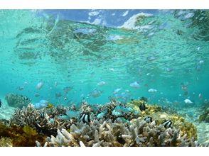 【沖縄・慶良間】珊瑚礁とウミガメツアー 3.5時間【ボートシュノーケル】の魅力の説明画像