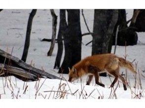 【北海道・知床】エゾシカや野鳥を観察!スノートレッキングの魅力の説明画像