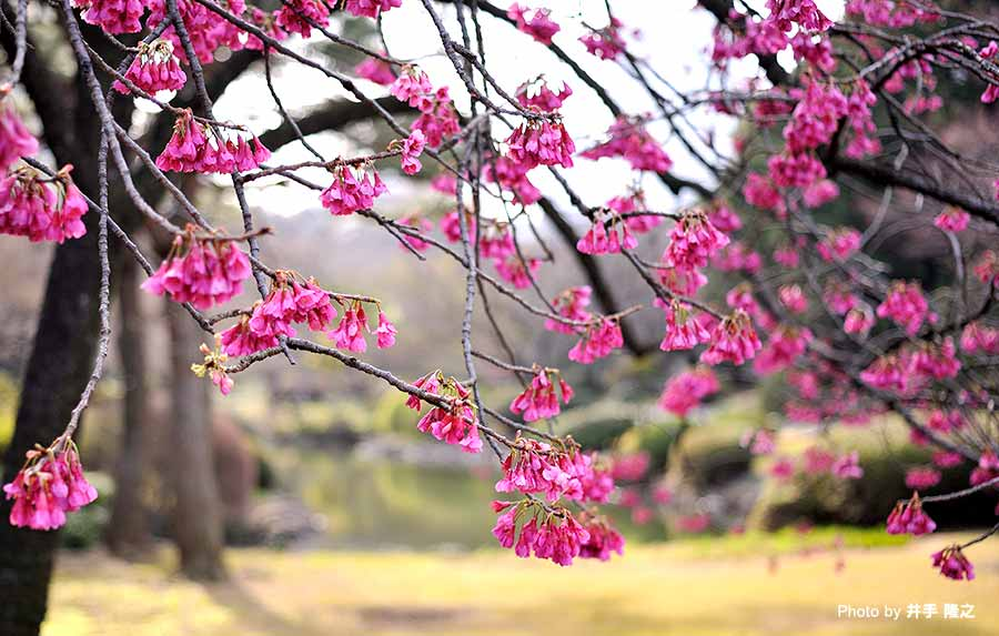 The cherry blossom season has arrived! Activities in Ohanami & Spring