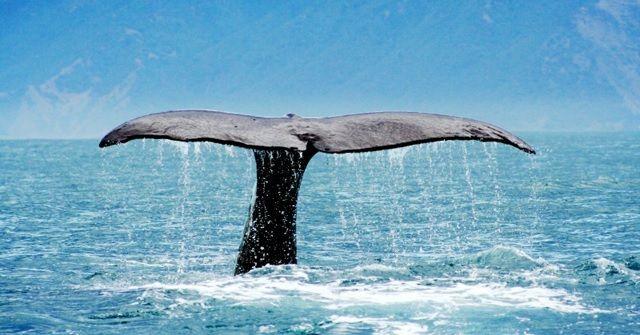 冬になったら『クジラ』に逢える!今年も『ホエールウォッチング』!!