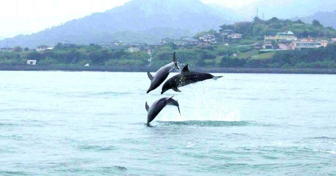 "Kumamoto · Amakusa, let's go see the wild ""dolphins""."