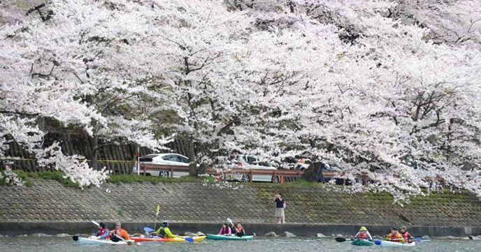 海津 桜並木